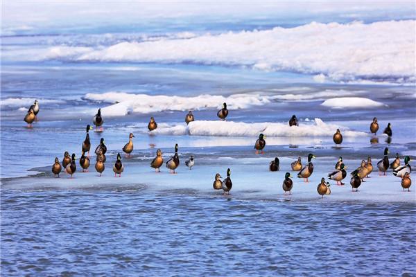 摄影:刁忠臣  作品名:《春江水暖》               拍摄地点:双鸭山市雁窝岛湿地