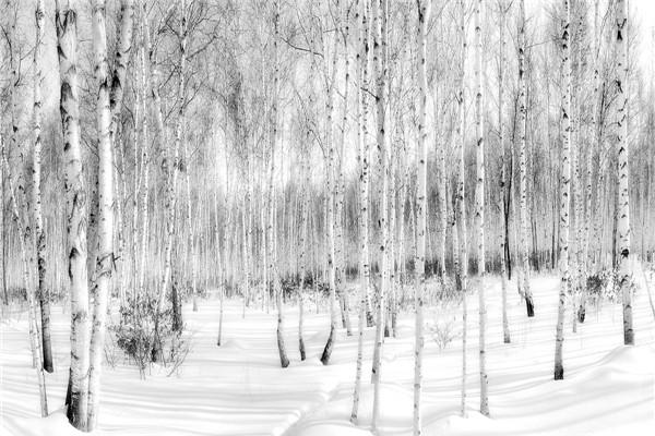 摄影:李光耀  作品名:《魅力白桦之冬》           拍摄地点:双鸭山市饶河石场
