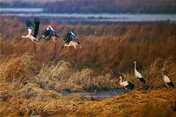 摄影:刘立明  作品名:《湿地与鸟—东方白鹳》     拍摄地点:双鸭山市千鸟湖湿地