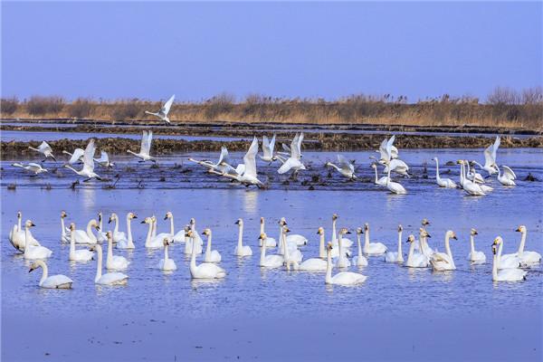 摄影:徐  义  作品名:《天鹅》                  拍摄地点:双鸭山市大佳河湿地