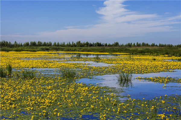 摄影:许廷义  作品名:《湿地黄花》              拍摄地点:双鸭山市大佳何湿地