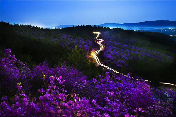 摄影:双协会  作品名:《夜色杜鹃》              拍摄地点:双鸭山市四方台区